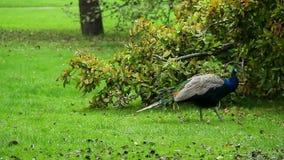 Η ινδική βοσκή peacock στο φυσικό περιβάλλον, τρώει τα έντομα φιλμ μικρού μήκους