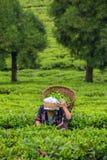 Η ινδική γυναίκα παίρνει τα φρέσκα φύλλα τσαγιού από τη φυτεία τσαγιού στην περιοχή του Sikkim, της Ινδίας Στοκ φωτογραφία με δικαίωμα ελεύθερης χρήσης