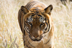 Η ΙΝΔΙΚΗ τίγρη στοκ φωτογραφία με δικαίωμα ελεύθερης χρήσης