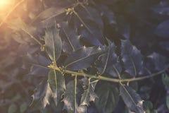 Ηλιοβασίλεμα ή ανατολή aquifolium Ilex Στοκ φωτογραφίες με δικαίωμα ελεύθερης χρήσης