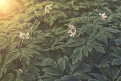 Ηλιοβασίλεμα ή ανατολή nemorosa Anemone Στοκ Εικόνες