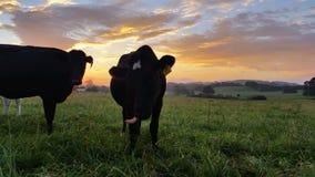 Ηλιοβασίλεμα/ανατολή καλλιέργειας αγελάδων γαλακτοκομικών βοοειδών απόθεμα βίντεο