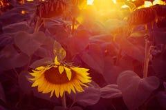 ηλιοβασίλεμα ηλίανθων Στοκ Εικόνες