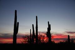 Ηλιοβασίλεμα κάκτων Saguaro Στοκ Εικόνες