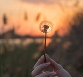 Ηλιοβασίλεμα και μαραμένη πικραλίδα Στοκ εικόνες με δικαίωμα ελεύθερης χρήσης