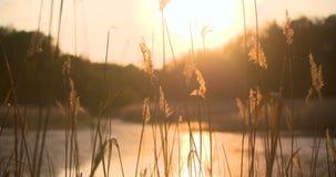 Ηλιοβασίλεμα μέσω των καλάμων Ασημένια χλόη φτερών που ταλαντεύεται στον αέρα φιλμ μικρού μήκους