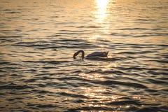 Ηλιοβασίλεμα με το Κύκνο Στοκ εικόνα με δικαίωμα ελεύθερης χρήσης