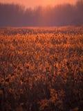Ηλιοβασίλεμα πέρα από τα κρεβάτια καλάμων Στοκ εικόνες με δικαίωμα ελεύθερης χρήσης