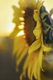 Ηλιοβασίλεμα πέρα από τον ηλίανθο Στοκ Εικόνα