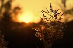 Ηλιοβασίλεμα πέρα από τους σπόρους καλάμων σε αγροτικό Στοκ εικόνα με δικαίωμα ελεύθερης χρήσης