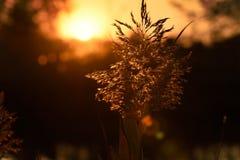 Ηλιοβασίλεμα πέρα από τους σπόρους καλάμων σε αγροτικό Στοκ Φωτογραφίες