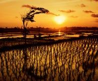 Ηλιοβασίλεμα πέρα από τους τομείς ρυζιού Στοκ Εικόνα