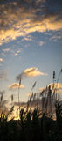 Ηλιοβασίλεμα πίσω από τον κάλαμο ζάχαρης Στοκ φωτογραφία με δικαίωμα ελεύθερης χρήσης