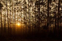 Ηλιοβασίλεμα πίσω από τον υπόλοιπο κόσμο των δέντρων σε Sihlouette Στοκ Φωτογραφία