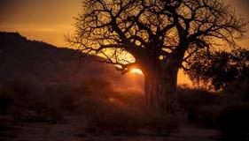 Ηλιοβασίλεμα στις πεδιάδες της Αφρικής με το γιγαντιαίο δέντρο αδανσωνιών Στοκ Εικόνες