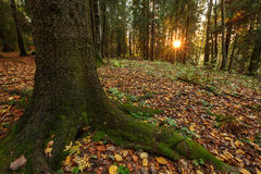 Ηλιοβασίλεμα στο δάσος, το δέντρο στο πρώτο πλάνο Στοκ Φωτογραφίες