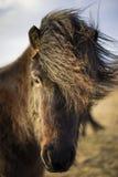 Ηλιοβασίλεμα το χειμώνα με τα ισλανδικά άλογα Στοκ εικόνα με δικαίωμα ελεύθερης χρήσης