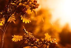 Ηλιοβασίλεμα ashberry στο άμεσο υπόβαθρο φωτός του ήλιου Στοκ Εικόνες