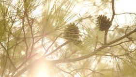 Ηλιοβασίλεμα Pincone στοκ εικόνες με δικαίωμα ελεύθερης χρήσης