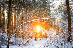 Ηλιοφάνεια ήλιων ανατολής ηλιοβασιλέματος στο ηλιόλουστο χειμερινό χιονώδες κωνοφόρο δάσος Στοκ Εικόνες