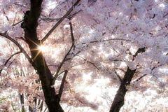 Ηλιοφάνεια μέσω των μαλακών, ρόδινων ανθών κερασιών στοκ φωτογραφίες