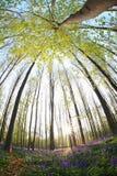 Ηλιοφάνεια που ανθίζει την άνοιξη το δάσος Στοκ φωτογραφία με δικαίωμα ελεύθερης χρήσης