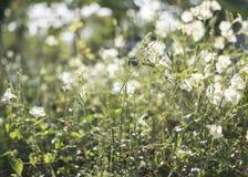 Ηλιοφάνεια στην πράσινη χλόη και το άσπρο λουλούδι Στοκ εικόνα με δικαίωμα ελεύθερης χρήσης