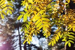Ηλιοφώτιστα κίτρινα φύλλα σορβιών στο δασικό υπόβαθρο στοκ φωτογραφία με δικαίωμα ελεύθερης χρήσης