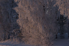 Ηλιοφώτιστο δέντρο σημύδων Στοκ φωτογραφίες με δικαίωμα ελεύθερης χρήσης
