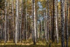 Ηλιοφώτιστο μικτό δάσος σημύδων και πεύκων στοκ φωτογραφία με δικαίωμα ελεύθερης χρήσης