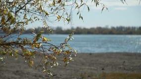 Η ιτιά διακλαδίζεται κοντά στον ποταμό το φθινόπωρο φιλμ μικρού μήκους