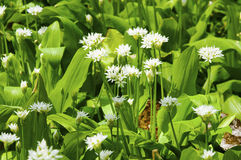 Ηλιόλουστα άνοιξη λουλούδια σκόρδου ημέρας άγρια Στοκ φωτογραφίες με δικαίωμα ελεύθερης χρήσης