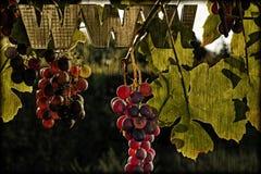 Ηλιόλουστα σταφύλια www Στοκ Φωτογραφίες