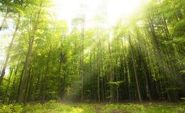 Ηλιόλουστες ακτίνες στο δάσος στοκ φωτογραφία με δικαίωμα ελεύθερης χρήσης