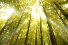 Ηλιόλουστες ακτίνες στο δάσος Στοκ Εικόνα