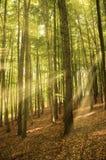 Ηλιόλουστες ακτίνες στο δάσος Στοκ Φωτογραφία