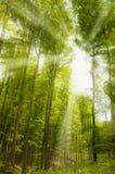 Ηλιόλουστες ακτίνες στο δάσος στοκ εικόνες