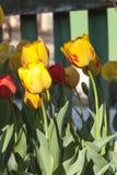Ηλιόλουστες τουλίπες στον κήπο στοκ φωτογραφίες