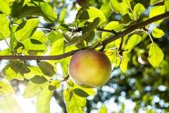 Ηλιόλουστη ημέρα Apple στον κλάδο δέντρων Στοκ φωτογραφία με δικαίωμα ελεύθερης χρήσης