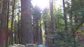 Ηλιόλουστη θερινή ημέρα στο κωνοφόρο πυκνό δάσος των δέντρων πεύκων απόθεμα βίντεο