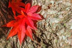 Ηλιόλουστη σύσταση φθινοπώρου - φύλλα και φλοιός Στοκ Εικόνες