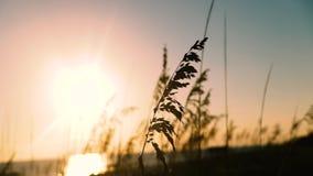 Ηλιόλουστος αέρας ημέρας που φυσά στη χλόη αμμόλοφων στην ακτή Φλώριδα απόθεμα βίντεο