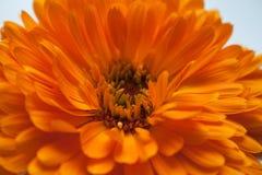ηλιόλουστος επάνω λουλουδιών ημέρας calendula στενός Μεγάλο φωτεινό λουλούδι Στοκ Εικόνα