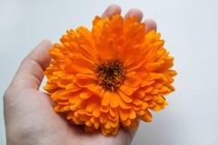 ηλιόλουστος επάνω λουλουδιών ημέρας calendula στενός Μεγάλο φωτεινό λουλούδι Στοκ φωτογραφία με δικαίωμα ελεύθερης χρήσης