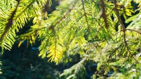 Ηλιόλουστος κλάδος βελόνων δέντρων πεύκων υποβάθρου φύσης Στοκ εικόνες με δικαίωμα ελεύθερης χρήσης