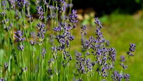 Ηλιόλουστος τομέας lavenders Στοκ Εικόνα