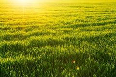 Ηλιόλουστο wheatfield και λάμποντας ήλιος Στοκ φωτογραφία με δικαίωμα ελεύθερης χρήσης