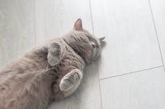 Η ιώδης σκωτσέζικη ευθεία γάτα βρίσκεται στο πάτωμα στοκ φωτογραφίες