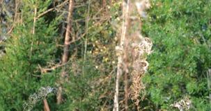 Η κάμερα βλασταίνει τα πράσινα δέντρα στο δάσος κατόπιν εστιάζει στον πλαδαρό κλάδο των εγκαταστάσεων απόθεμα βίντεο
