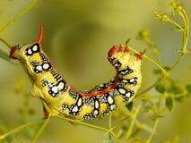 Η κάμπια κινηματογραφήσεων σε πρώτο πλάνο του σκώρου γερακιών Spurge τρώει τα λουλούδια του stepposa ευφορβίας στοκ φωτογραφία